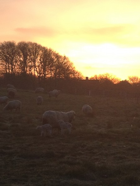 Sunrise, with our new lambs